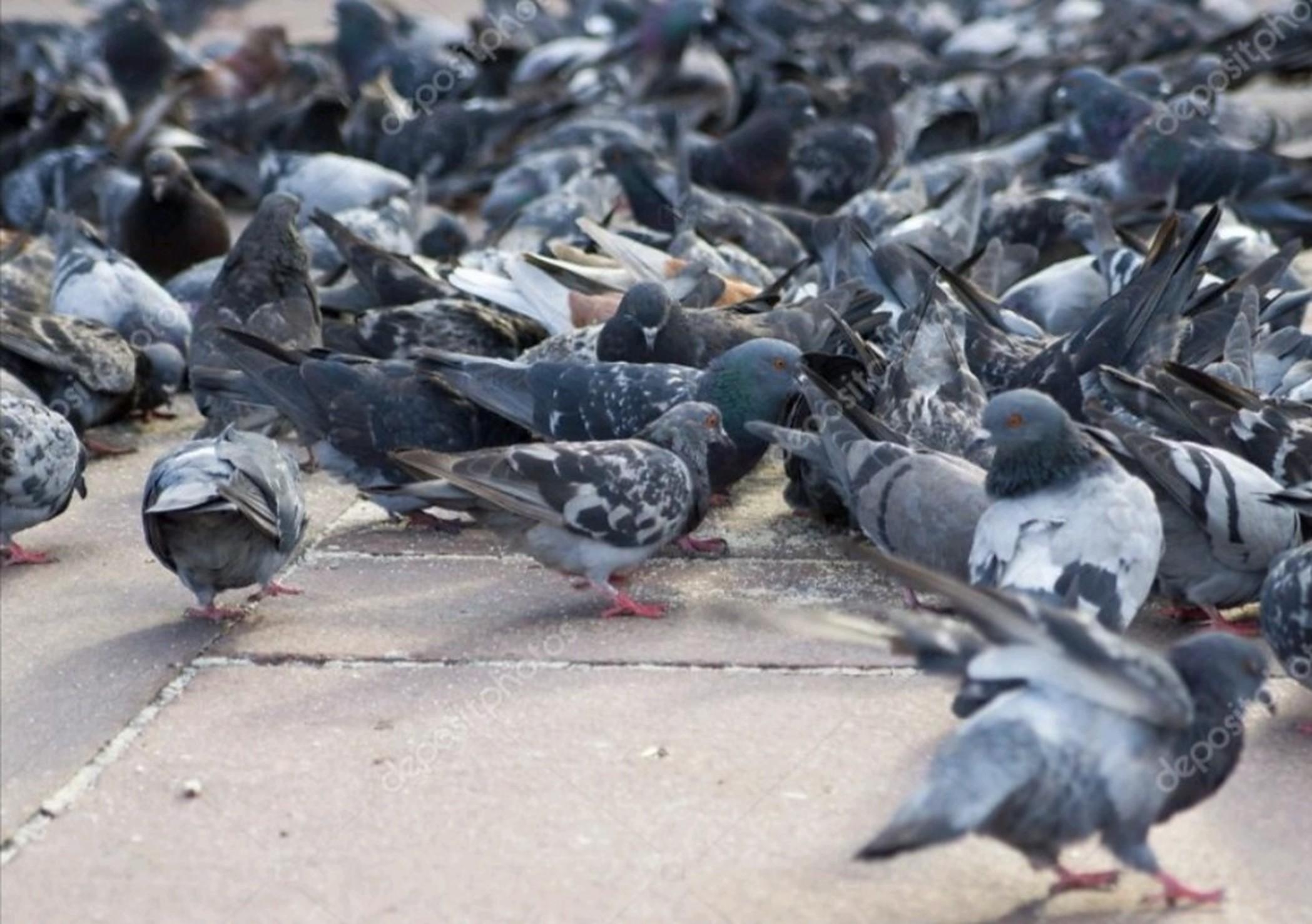duiven-inprema