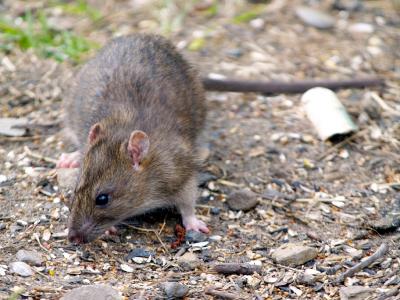 bruine-rat-inprema