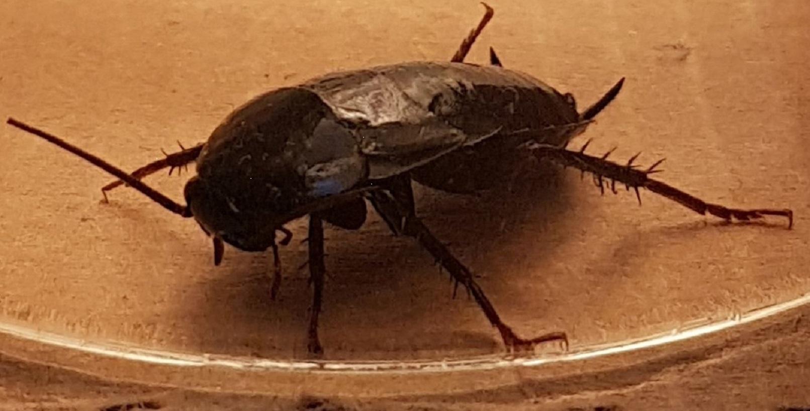 oosterse-kakkerlak-inprema
